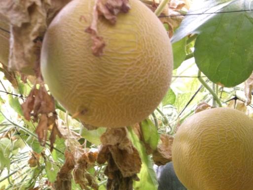 meloni-appesi-2