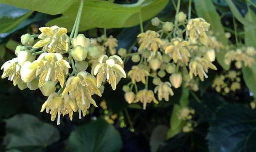 Tiglio-fiori