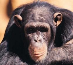 scimmia 1