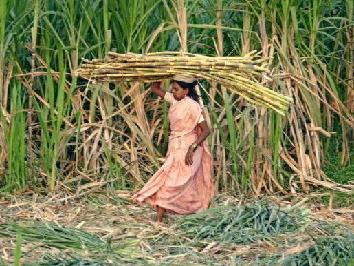 india-canna-zucchero 2